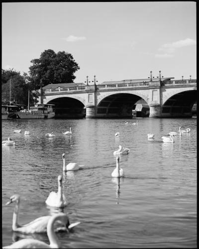510_swans_in_kingston_upon_thames.jpg