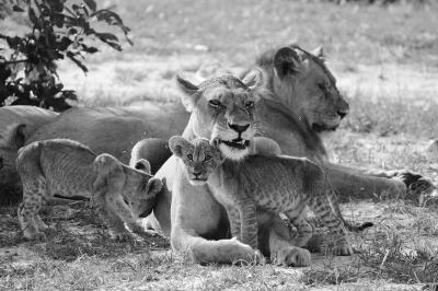 Print art: Family of Lions