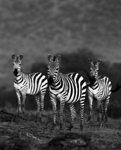 Print art: Zebra trio