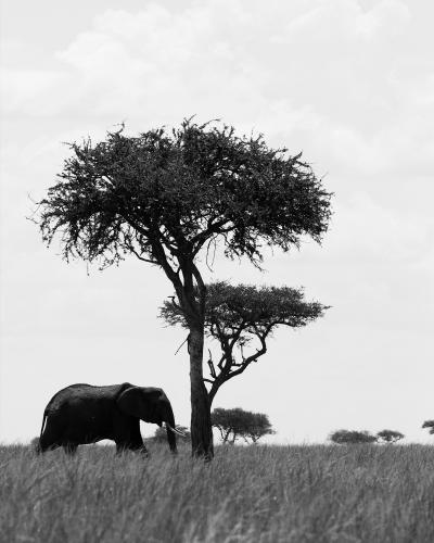 Print art: Elephant and the acacia tree