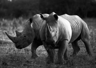 Print art: Rhino duo
