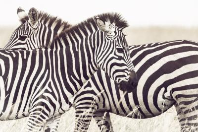 Print art: Zebras in the Serengeti