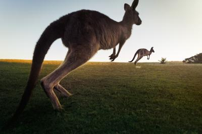Print art: Kangaroos at dusk